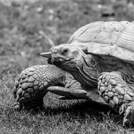 Giant tortoise by Garry Chisholm - Black & White Animals ( nature, giant tortoise, reptile, garry chisholm )