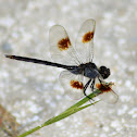 Four-spotted Pennant Dragonfly