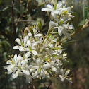 Australian blackthorn