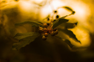 Photo: The ripening  #365project curated by +Simon Kitcher+Patricia dos Santos Patonand +Vesna Krnjic