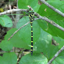 Tiger Spiketail