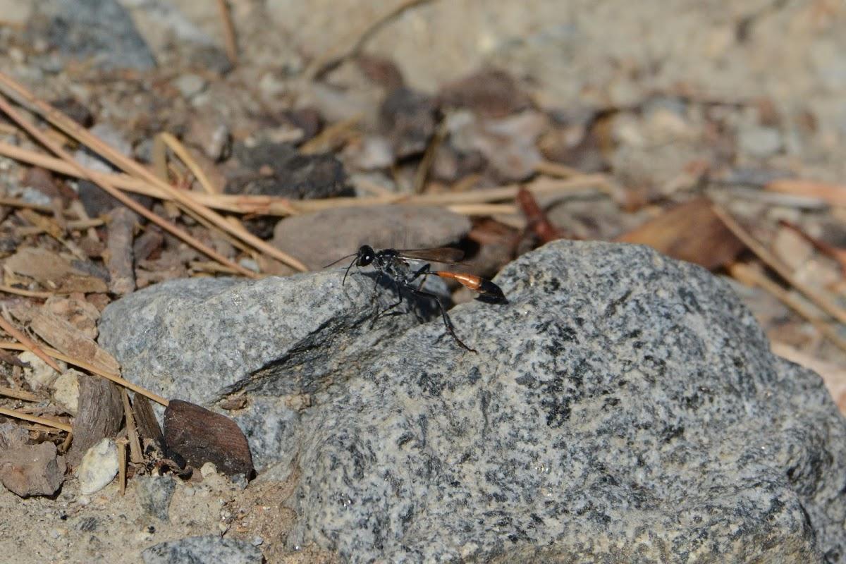 Thread-waisted Digger Wasp