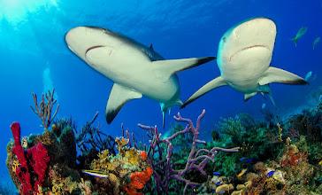 Photo: Caribbean Reef Shark, Little Bahama Bank, Bahamas