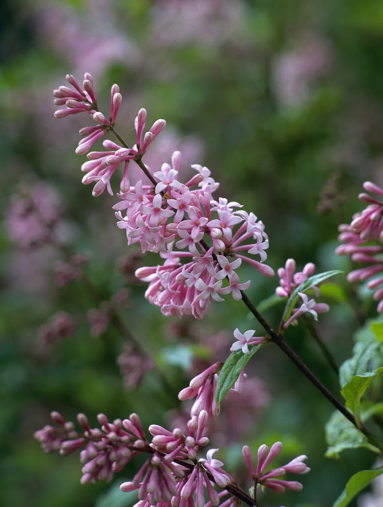 Your Guide to Growing & Caring for Lilac Bushes 4