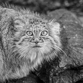 Pallas Cat by Garry Chisholm - Black & White Animals ( pallas cat, nature, big cat sanctuary, garry chisholm )