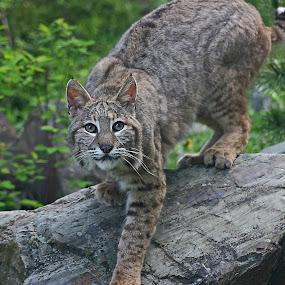 Watching You by Anita Elder - Animals Lions, Tigers & Big Cats ( bobcat, wildcat, pacific )