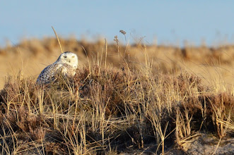 Photo: Snowy Owl at Plum Island / Parker River NWR