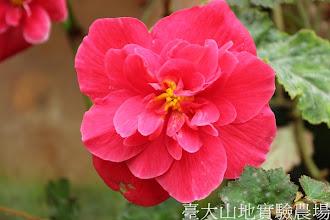Photo: 拍攝地點: 梅峰-溫帶花卉區-秋海棠花廊 拍攝植物: 球根秋海棠 拍攝日期:2012_08_30_FY