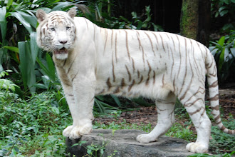 Photo: One of several white tigers at the zoo