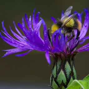 Pollination by John Crongeyer - Nature Up Close Gardens & Produce ( pollinating, bumble bee, purple, nature, bee, wings, pollination, garden, spring, flower )