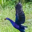 Grey-headed swamphen (Purple Swamphen)