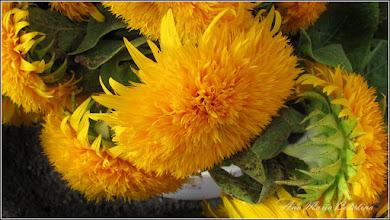 Photo: 2014.08.22 - floarea-soarelui decorativa - din Piata Centrala Agroalimentara
