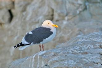 Photo: Western Gull