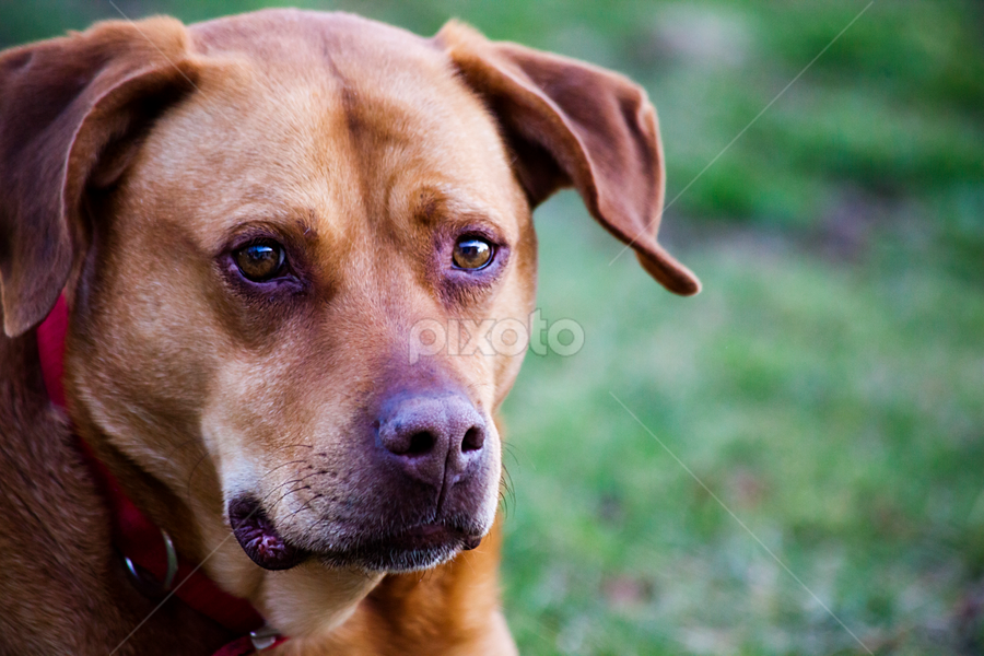 Neighbor  Sam by Susan Farris - Animals - Dogs Portraits ( canine, dog, animal,  )