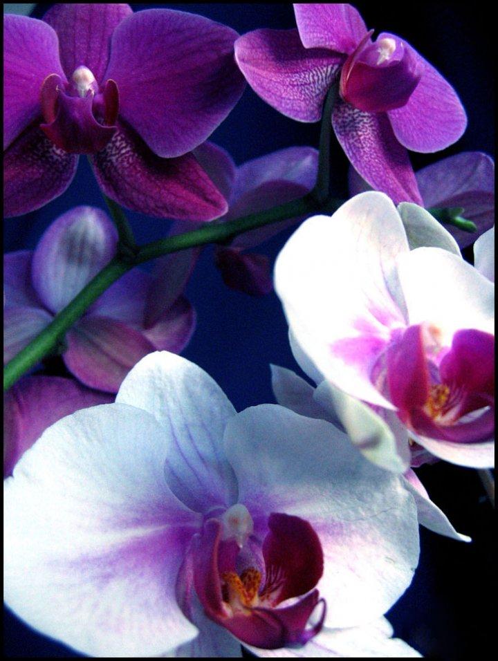 Orchidea . di Helena