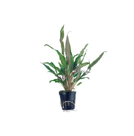 Cryptocoryne´Broad Leaves´ Tropica