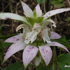 Dotted Horsemint