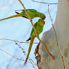 Cotorra de Kramer (Rose-ringed parakeet)