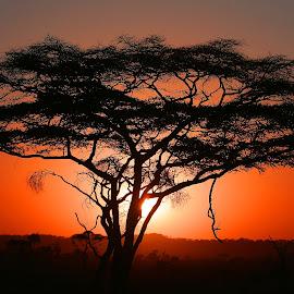 Magical East African Sunrise by Anthony Goldman - Landscapes Sunsets & Sunrises ( east africa., nature, serengeti, silhouette, acacia tree, sunrise, tanzania, landscape,  )