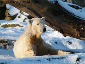 Photo: Knut geniesst seinen Schnee :-)