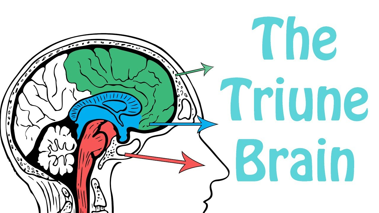 The Triune Brain - Bộ não ba trong một - Learn Vocab in
