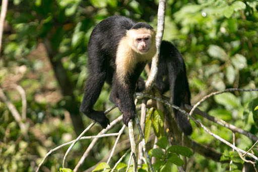 A white-faced capuchin checks out lunch opportunities during a tour boat's visit to Monkey Island in Panama.