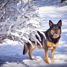 Zeva by Teresa Hovis - Animals - Dogs Portraits