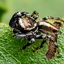 Jumping Spider. male