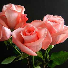 Pink Rose Quartet by Kathy Rose Willis - Flowers Flower Arangements ( black background, pink roses, arrangement, green leaves, roses, pink, four quartet,  )
