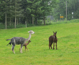 Photo: Hov! En lama er pludselig i gang med at føde!