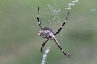 Photo: araña de carlos keen, 31 mar 2012