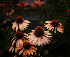 Photo: Echinacea flowers along the High Line Elevated Park in Chelsea, New York City.  View the writing that accompanies this post here at this link on Google Plus:  https://plus.google.com/108527329601014444443/posts/eRiWY3Pgc3w  View more New York City photography by Vivienne Gucwa here:  http://nythroughthelens.com/