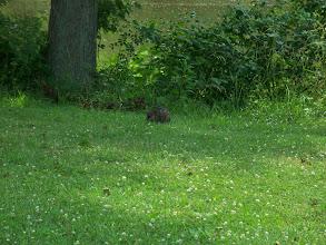Photo: is that a beaver, muskrat, ground hog ???