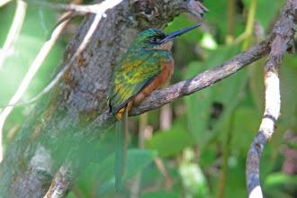 Photo: Rufous-tailed Jacamar