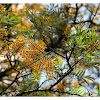 Grevillea robusta 銀樺
