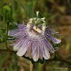 Passionflower / Maypop
