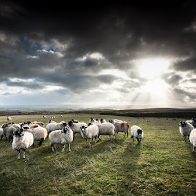 Sheep by Adrian Wilson - Animals Other Mammals ( ribblesdale, yorkshire, malham, yorkshire dales, sunshine, landscape, settle, airedale )