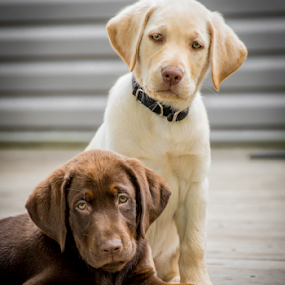 Not so Happy Pups by Myra Brizendine Wilson - Animals - Dogs Portraits ( puppies, dogs, lab puppies, ny, yellow lab, chocolate lab,  )
