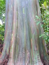 Photo: C1250034 Maui - teczowy eukaliptus