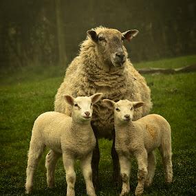 Family Portrait by Paul Richards - Animals Other Mammals ( farm, pwcbabyanimals, pwcbaby animals, sheep, baby, lamb, animal )