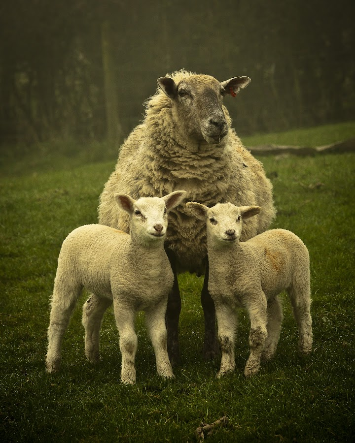 Family Portrait by Paul Richards - Animals Other Mammals ( farm, pwcbabyanimals, pwcbaby animals, sheep, baby, lamb, animal )