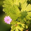 Round-leaved Crane's-Bill