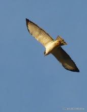 "Photo: Short-tailed Hawk; the old ""fort"" at San Blas"