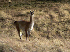 Photo: Guanacos grazed outside as our guide served wine, cheese and a hot meal in a ranchouse.