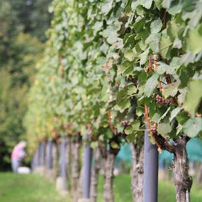 grape harvesting just began by Bence Czigány - Nature Up Close Gardens & Produce