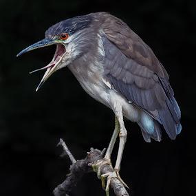 The Scream by David Hammond - Animals Birds ( animals, nature, calling, heron, birds,  )