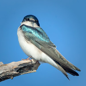 Lone-Tree-Swallow.jpg