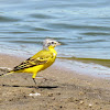 (Western) Yellow Wagtail