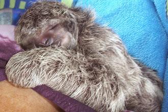 Photo: Baby newborn sloth 2003