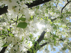 Photo: White apple blossoms in the sunlight at Cox Arboretum and Gardens Metropark in Dayton, Ohio.